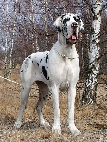 European Great Dane BeefcakeDanes -...